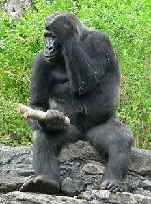 355px-Gorilla_gorilla_gorilla4